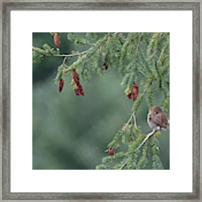 Northern Pygmy Owl Framed Print by Randy Hall