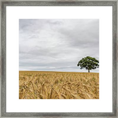Oak And Barley Framed Print by Nick Bywater