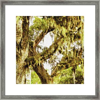 Old Mossy Oaks Framed Print by Barry Jones