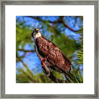 Osprey Lookin' At Ya Framed Print by Tom Claud