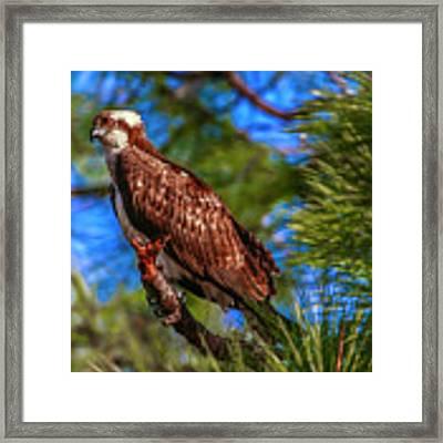 Osprey On Limb Framed Print by Tom Claud