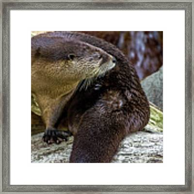 Otter Interrupted Framed Print by Kate Brown