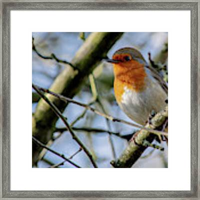 Plump Robin Framed Print by Scott Lyons