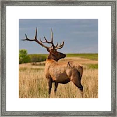 Prairie Wapiti Framed Print by Bryan Smith