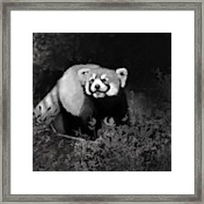 Red Panda Framed Print by Angela Murdock