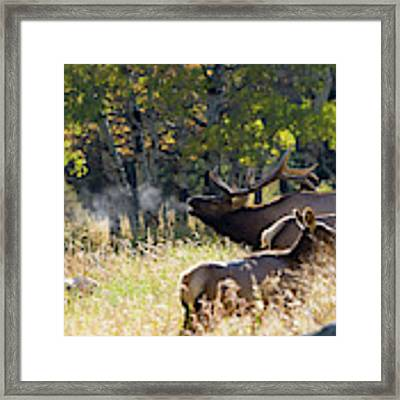 Rocky Mountain Bull Elk Bugeling Framed Print by Nathan Bush
