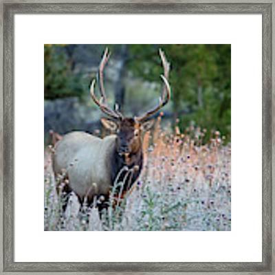 Rocky Mountain Wildlife Bull Elk Sunrise Framed Print by Nathan Bush
