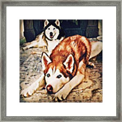 Siberian Huskies At Rest A22119 Framed Print by Mas Art Studio