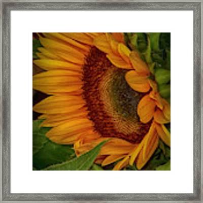 Sunflower Beauty Framed Print by Judy Hall-Folde