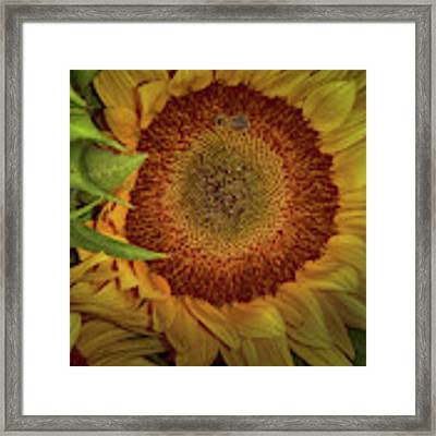 Sunflower Splendor Framed Print by Judy Hall-Folde