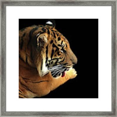 Tiger On Black Framed Print by Alison Frank