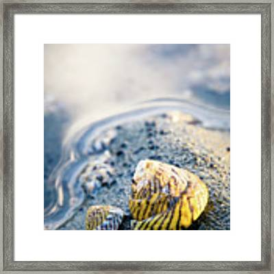 Tiny Seashell Framed Print by Nicole Young