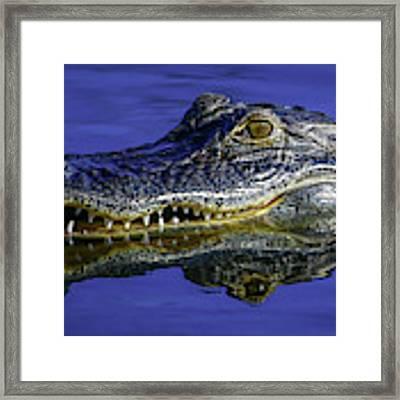 Wetlands Gator Close-up Framed Print by Tom Claud