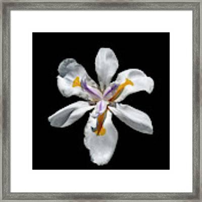 Wild Iris On Black  Framed Print by Alison Frank