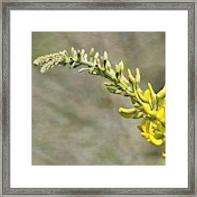 Yellow Lupine Framed Print by Carolyn Marshall