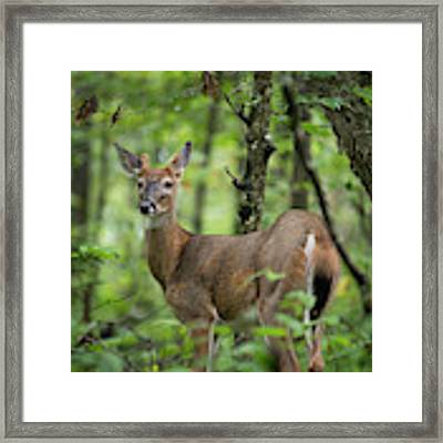 Young White-tailed Deer, Odocoileus Virginianus, With Velvet Antlers Framed Print by William Dickman