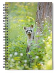 Raccoon Photographs Spiral Notebooks