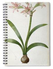 Amaryllis Paintings Spiral Notebooks