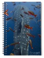 Rhincodon Typus Spiral Notebooks