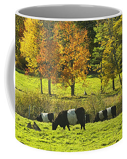 Belted Galloway Cows Grazing On Grass In Rockport Farm Fall Maine Photograph Coffee Mug