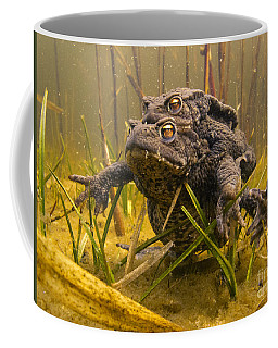 European Toad Pair Mating Noord-holland Coffee Mug