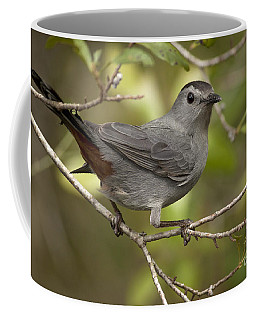 Coffee Mug featuring the photograph Gray Catbird by Meg Rousher