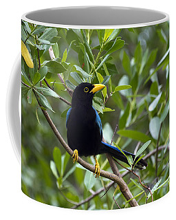 Immature Yucatan Jay Coffee Mug by Teresa Zieba