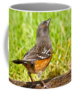 Spotted Towhee Looking Up Coffee Mug