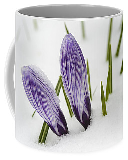 Two Purple Crocuses In Spring With Snow Coffee Mug