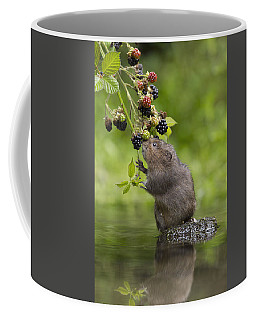 Water Vole Eating Blackberries Kent Uk Coffee Mug