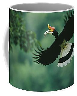 A Male Rhinoceros Hornbill Delivers Coffee Mug