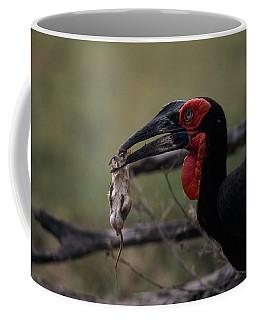 A Southern Ground Hornbill Prepares Coffee Mug