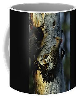 Northern Flickers Fight Over Nesting Coffee Mug