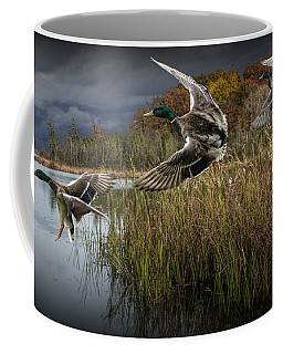 Drake Mallard Ducks Coming In For A Landing Coffee Mug