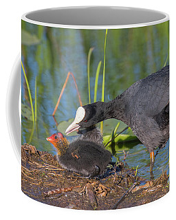 Eurasian Coot - Fulica Atra. Mamma And Chick. It Is So Pretty An Coffee Mug
