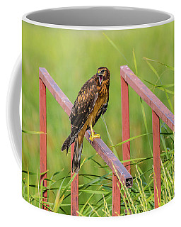 Female Northern Harrier Coffee Mug by Yeates Photography