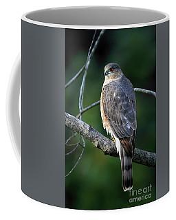 Handsome Sharp Shinned Hawk Coffee Mug
