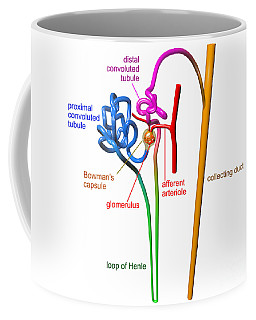Coffee Mug featuring the digital art Nephron White With Labels by Russell Kightley