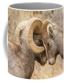 Young Bighorn Tests His Elder Coffee Mug