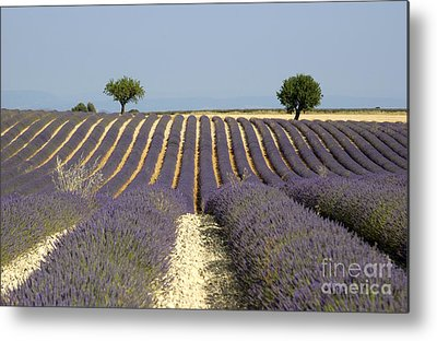 Lavender Field Metal Prints