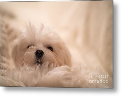 Sleepy Maltese Metal Prints