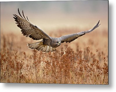 Buzzard Metal Prints