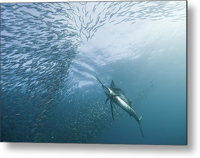 Sailfish Metal Prints