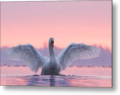 Swans.. Metal Prints