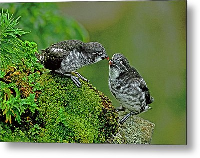 Auklets Metal Prints