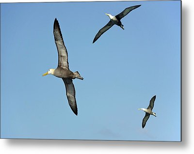 Waved Albatross Metal Prints