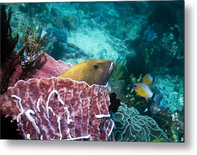 Peacock Grouper Metal Prints