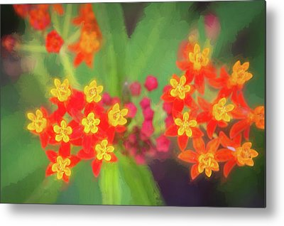 Showy Milkweed Metal Prints