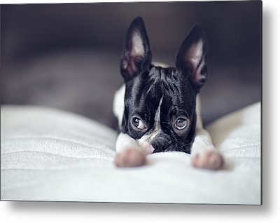 Boston Terrier Metal Prints