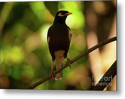 Common Myna Metal Prints